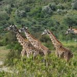 Book an Adventure and see this giraffe family in person