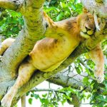 Ishasha tree climing lion
