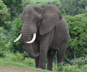 Kenya and Tanzania Camping Safari bull elephant